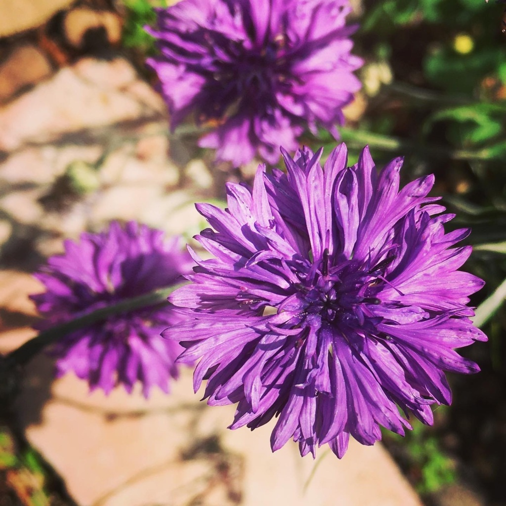Purple cornflowers to attract bees and other pollinators