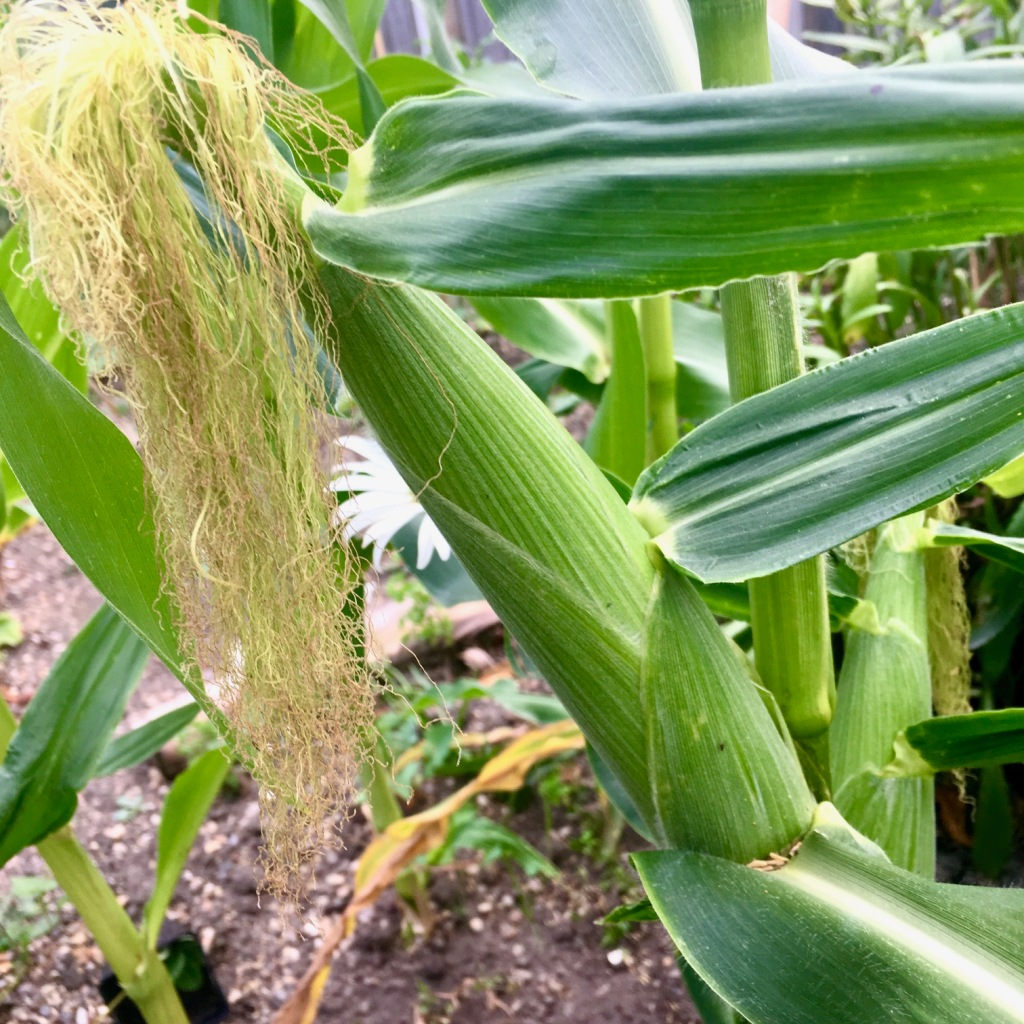Close up of a sweetcorn growing on the stem to demonstrate the silks