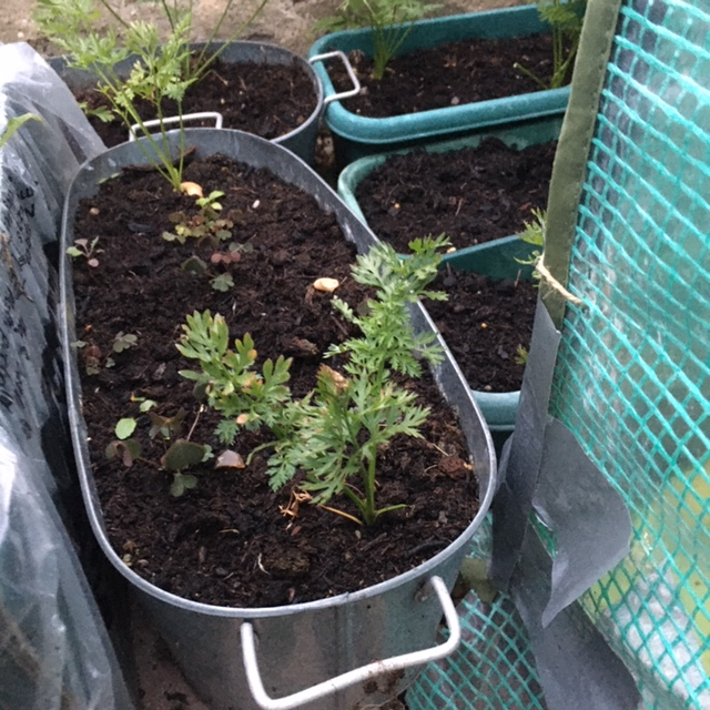 Small containers for growing Atlas carrots - most have been harvested already