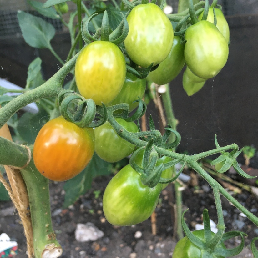 Tomatoes are beginning to ripen